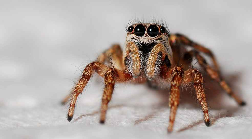 spider-macro-zebra-spider-insect-40795.jpeg